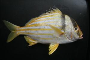 Porkfish Anisotremus virginicus