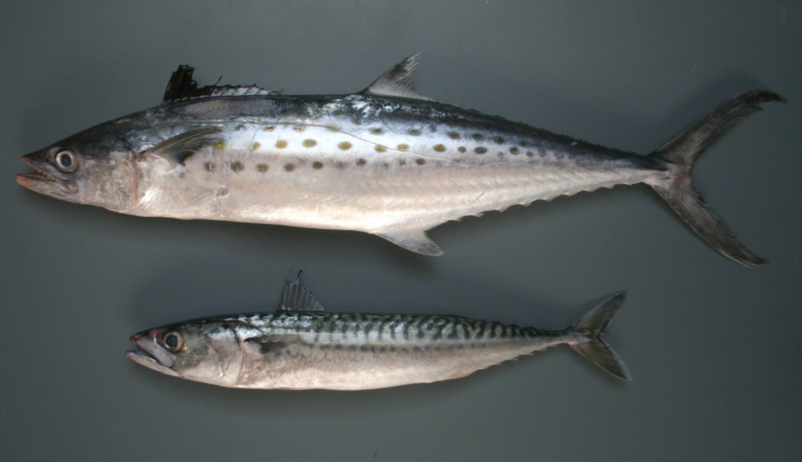 Картинки по запросу рыба макрель