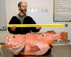 BOFFFF Big old fat fecund female fish