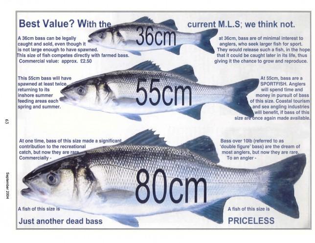 Dicentrarchus labrax zeebaars sea bass