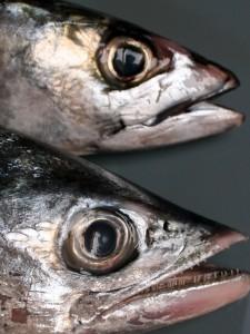 Kop van Spaanse en Hollandse makreel close up