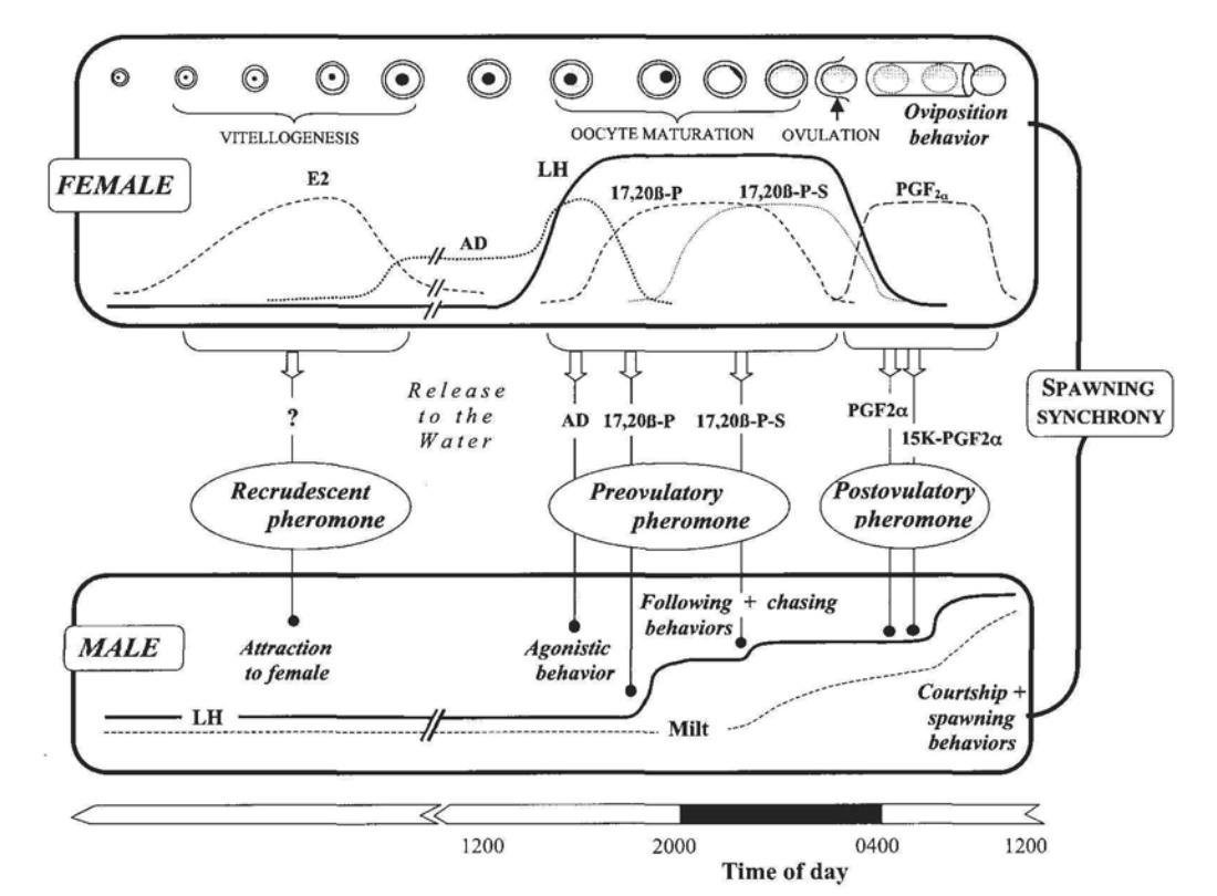 Invloed van feromonen op paaigedrag bij de karper Cyprinus carpio